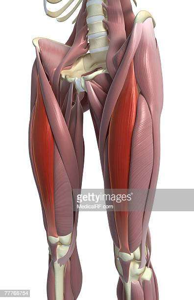 Quadriceps Muscle Stock Illustrations And Cartoons | Getty ...