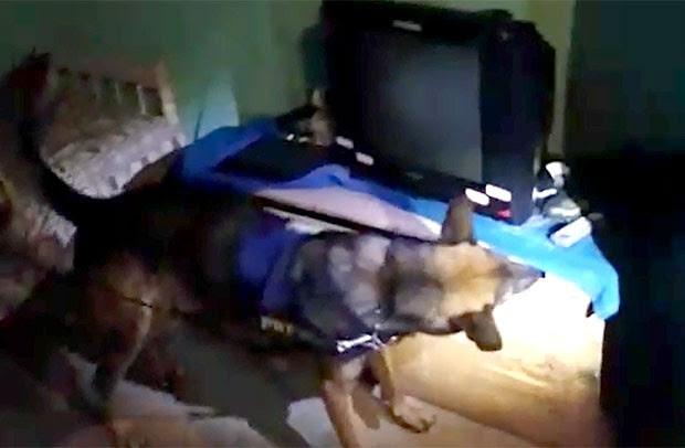 Cão fareja droga escondida sob uma peque na estante de madeira, dentro da casa de um dos alvos da ação (Foto: Divulgação/PRF)