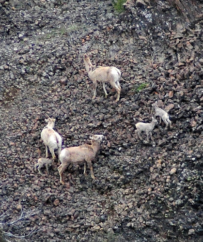 Bighorn Family