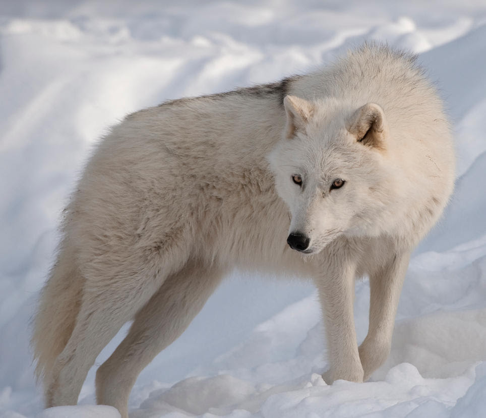 Kara pureblood arctic wolf female by ScourgeTiny123 on ...
