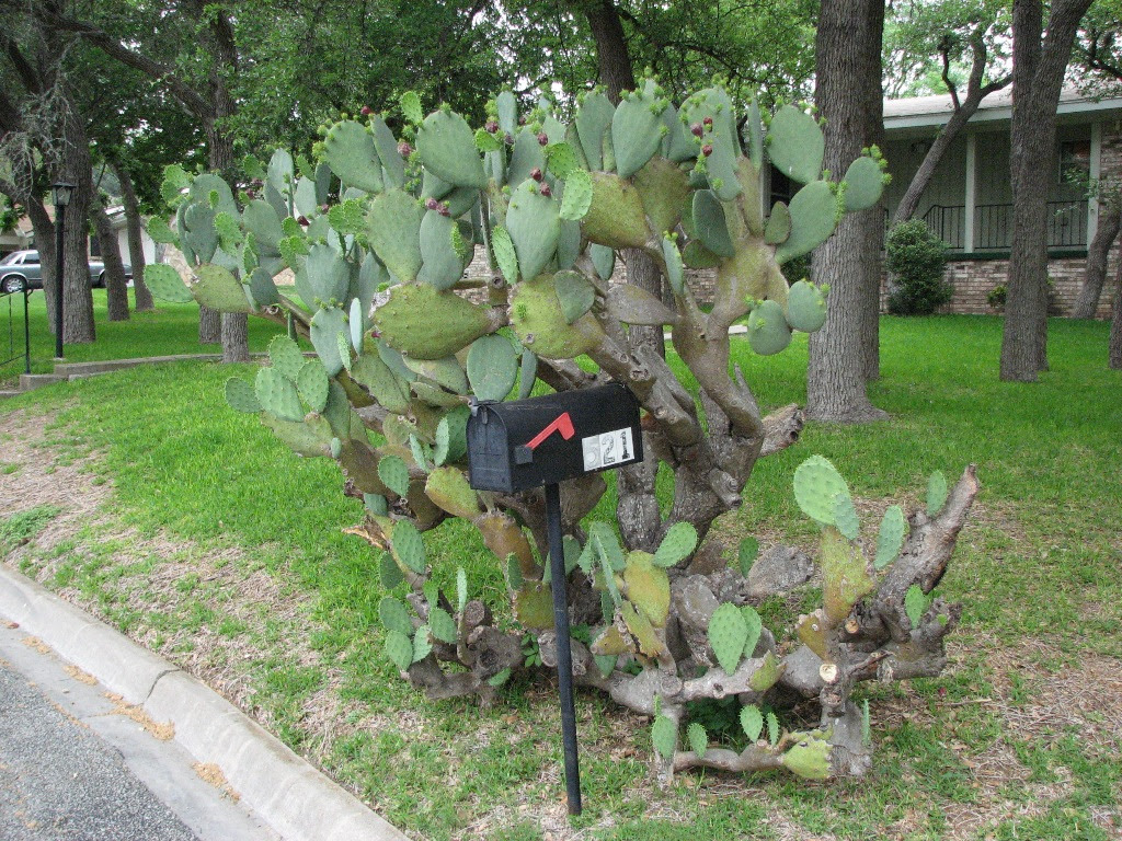 Click Here for prickly pear cactus