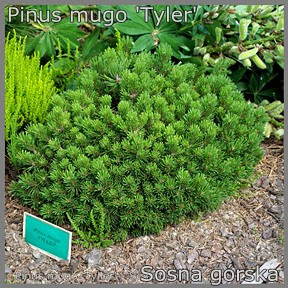 Pinus mugo 'Tyler' - Sosna górska