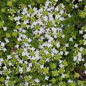 Thymus_praecox_Albiflorus