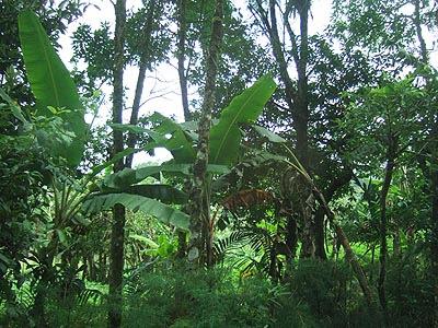 végétation tropicale dans le Chiapas.jpg
