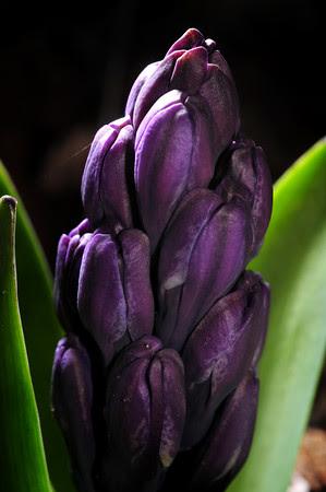 Halcyon Hyacinth