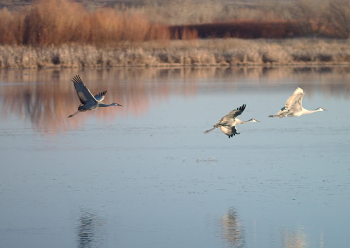 File:3Grus canadensis flying1.jpg
