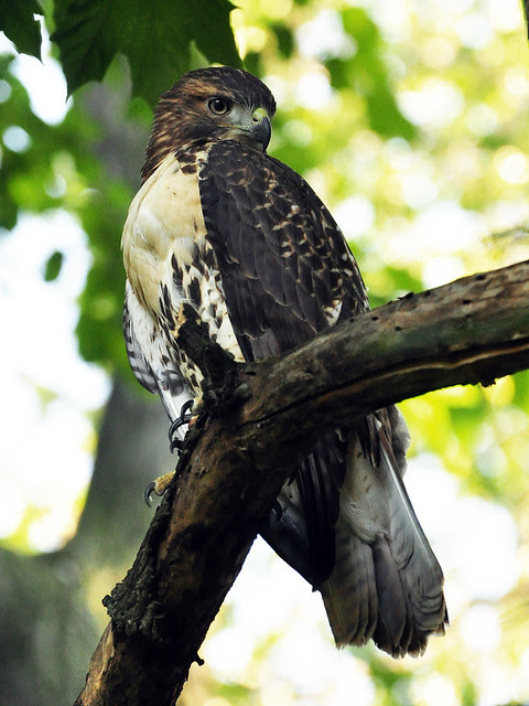 Morningside Park Red-Tail Fledgling