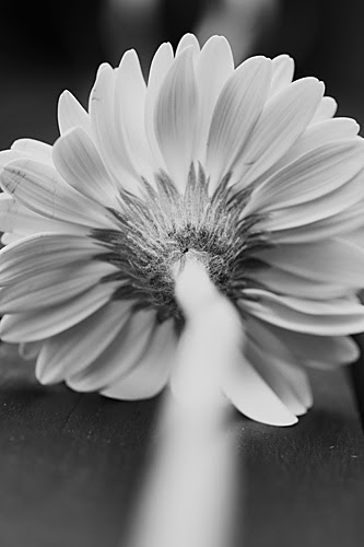 Black and white Gerbera