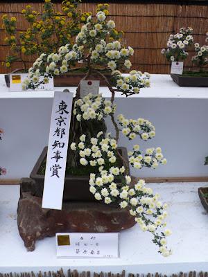 Bonsai Chrysanthemum Jindai botanical garden, Tokyo Japan