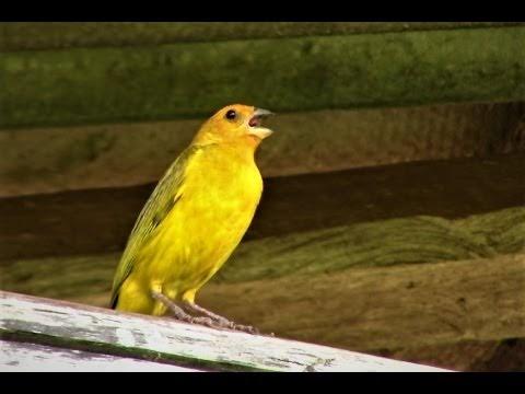 Canto Para Esquentar o Canário da Terra - Gravado ao Vivo na Natureza