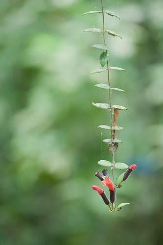 wild flowering vine IMG_0974 copy