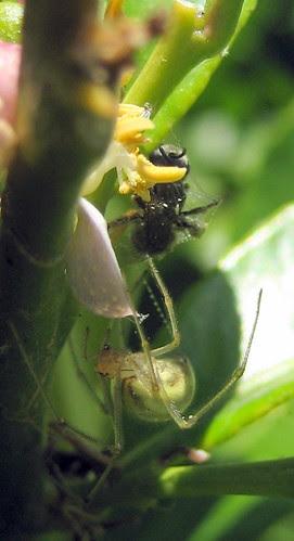 Spider and captured bee 3