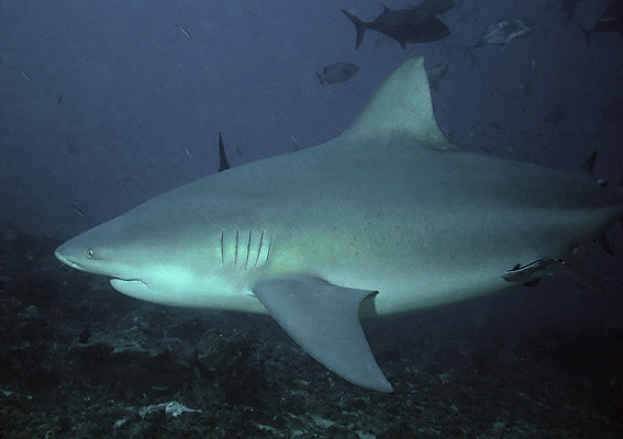 http://upload.wikimedia.org/wikipedia/commons/8/8f/Bullshark_Beqa_Fiji_2007.jpg
