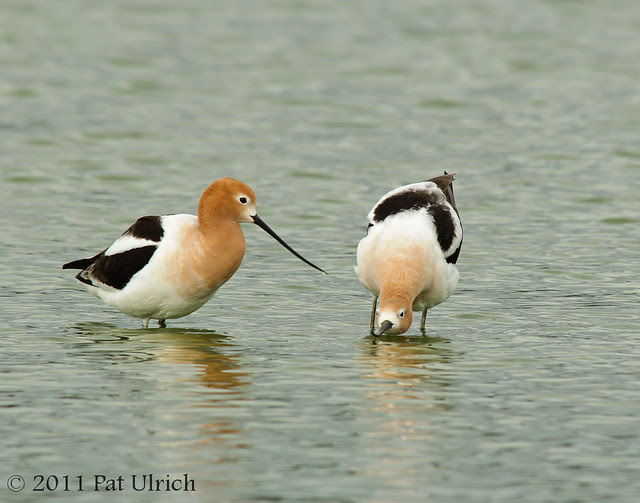 Avocet courtship dance - Pat Ulrich Wildlife Photography