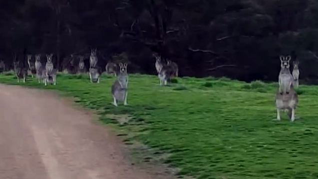 Too Cute! Isolated Cyclist Surrounded by Silent, Unblinking Kangaroo Horde