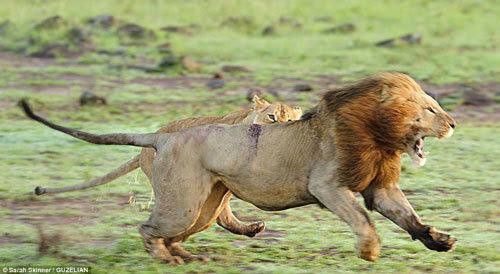 sử tử cái, sử tử đực, bảo vệ con, châu Phi