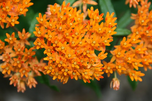 Butterfly Weed (Asclepias tuberose)