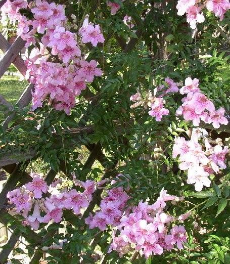 Enredaderas Con Flores La Podranea Ricasoliana Plantas Flor De
