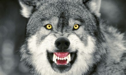 Snarling-Gray-Wolf-006