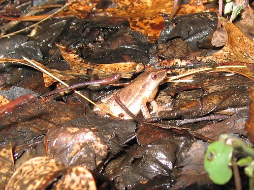 Spring Peeper by Norm Walsh