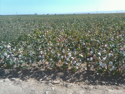 cotton in California's central valley