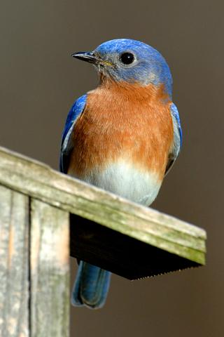 Blue Bird iPhone Wallpaper | iDesign iPhone