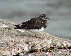 Turnstones on the harbour arm in Hastings
