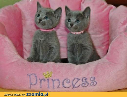 Kocięta Rosyjskie Niebieskie Hodowla Contariopl Mazowieckie