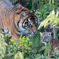 Melati with cubs