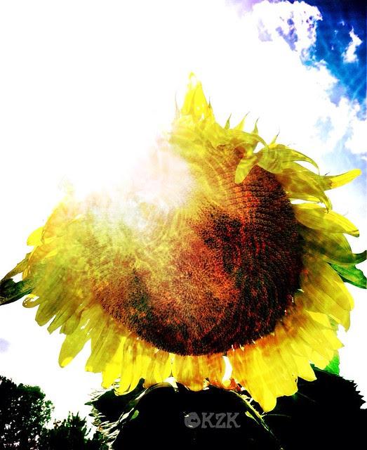 IMG_9030 Kansas Sunflower