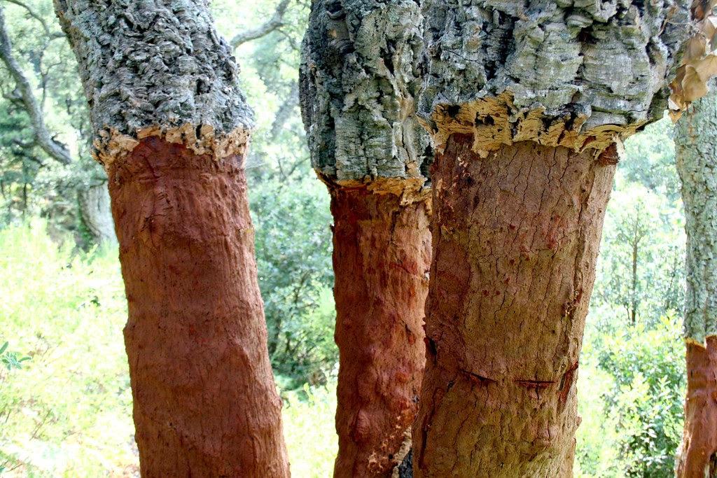 CORK TREES_1373