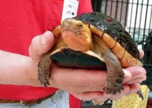 Adult Chinese Box Turtle