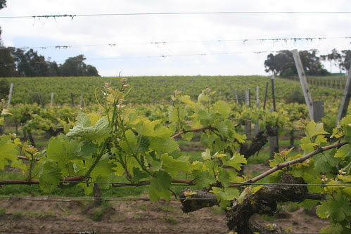Vines at Cullen Winery