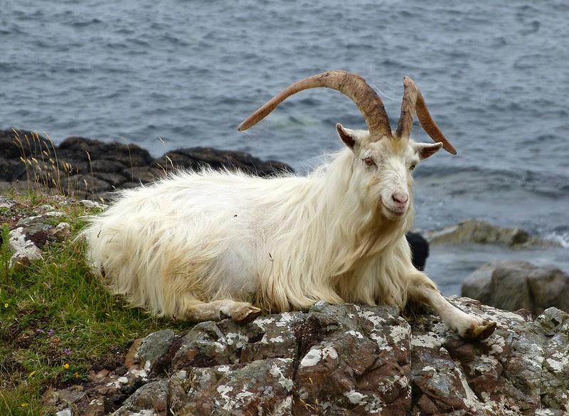 P1050716 - Wild Goat, Isle of Mull