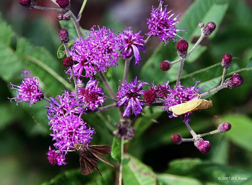 Ironweed and Skippers