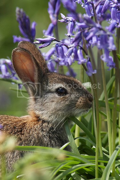 photo Rabbit-in-Bluebells-02_zpsl4nmpasu.jpg