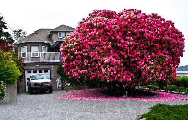 perierga.gr - Εκπληκτικό ροδόδεντρο ετών… 125!