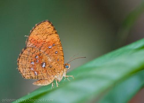 Callidulidae - Callidula sp. moth IMG_5730 copy