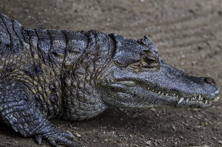 Homem gritou 'que se lixem os crocodilos' e morreu atacado por…crocodilo