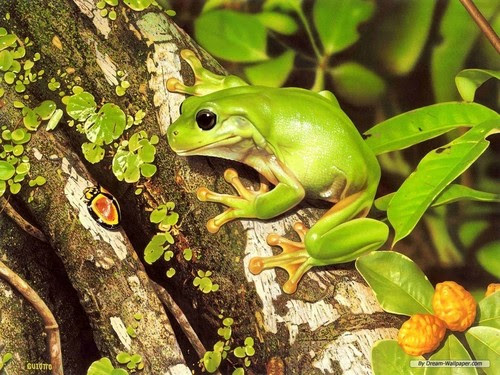 Frog Wallpaper! - frogs Wallpaper