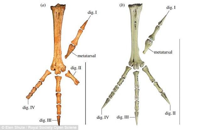 Tìm thấy loài gà to bằng Kangaroo, sống ẩn dật gần 2 triệu năm trước - Ảnh 2.