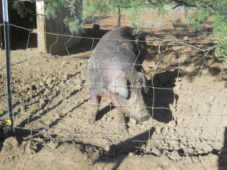 Our New Duroc Boar Odysseus