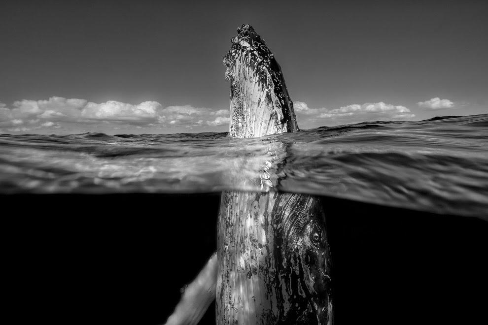Это поведение китов называются в англоязычной литературе «Прыжок шпиона»