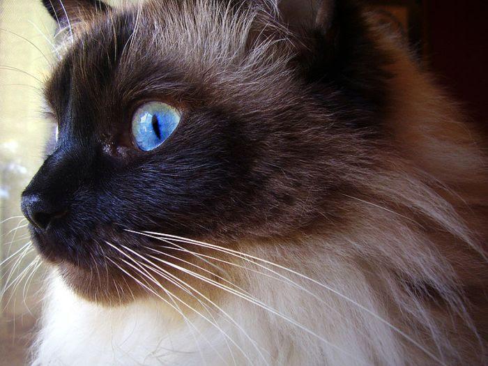 The Ragdoll Cat Breed