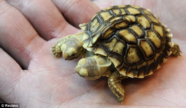 Fits in the hand: Adults can grow to have 24 to 36 inch long (60-90 cm) shells weighing 150 pounds (70 kg)