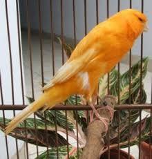 Lancashire Canary