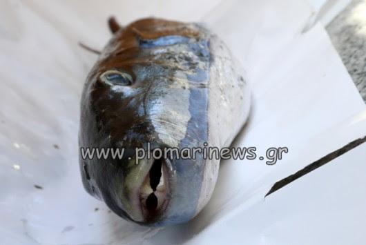Μυτιλήνη: Σήκωσε τα δίχτυα του και είδε αυτό το ψάρι - Τα έχασε όταν έμαθε σε τι περιπέτειες θα μπορούσε να μπει (Φωτό)!