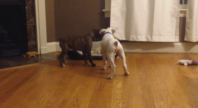 way2cuteaww: Two Dogs Trick Another Dog out of His Bed
