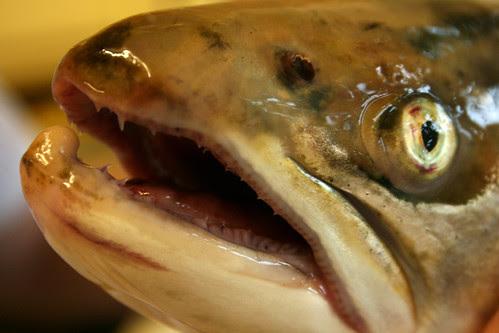 Wild sea trout face
