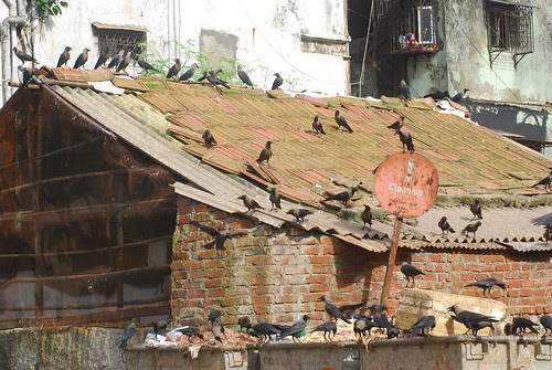 The Famous Crows Of Bandra Bazar Road.. Their Shit On My Head Offload by firoze shakir photographerno1